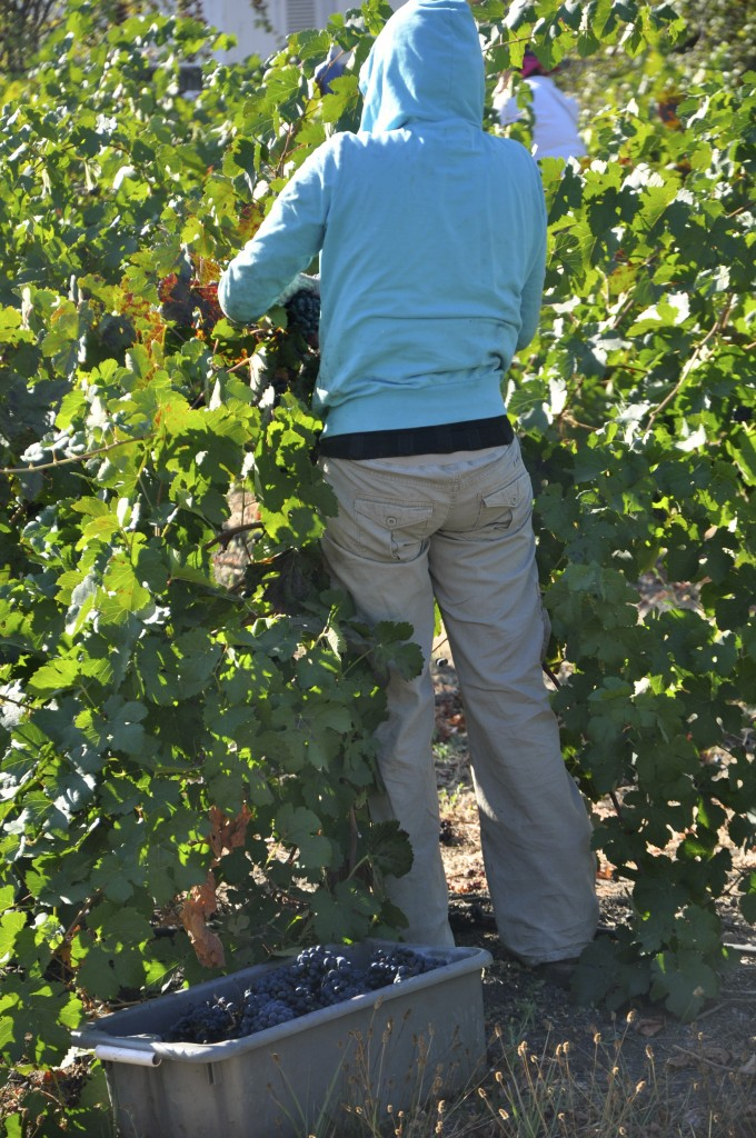 Grape harvest, Harvest '13, Petite Sirah, Trueheart Vineyard Petite Sirah