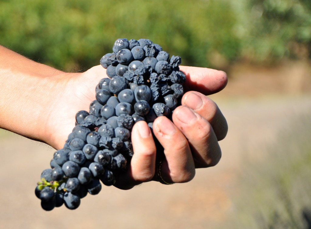 Harvest '13, grapes, Petite Sirah, Trueheart Vineyard Petite Sirah