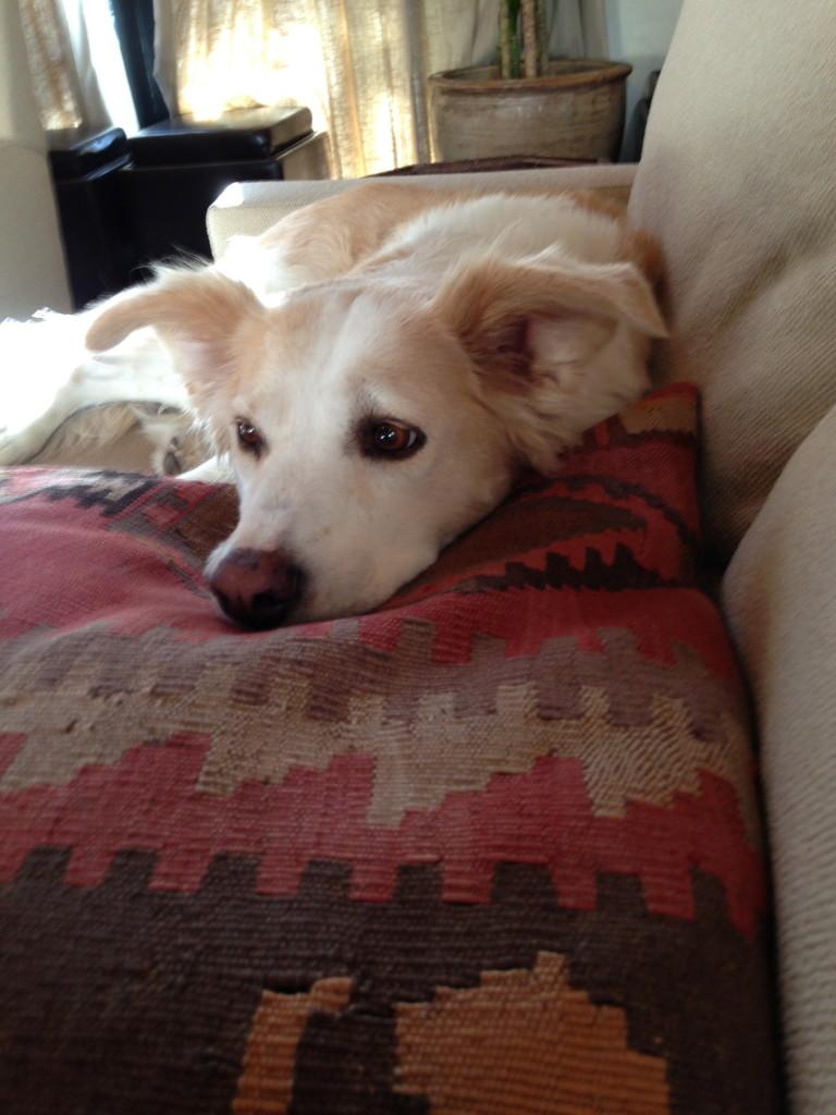 My dog on Turkish pillows