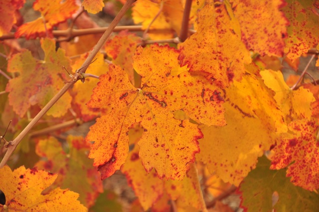 Colorful fall leaves in the vineyard