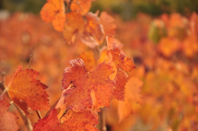 The vineyard showing off leaves of red, orange and yellow.