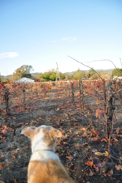 Dog in the Sonoma vineyard
