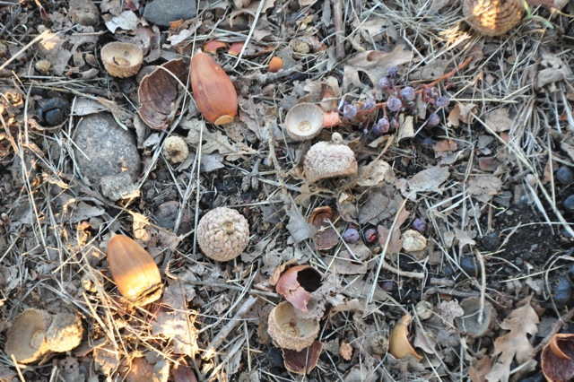Acorns on the floor of the vineyard.