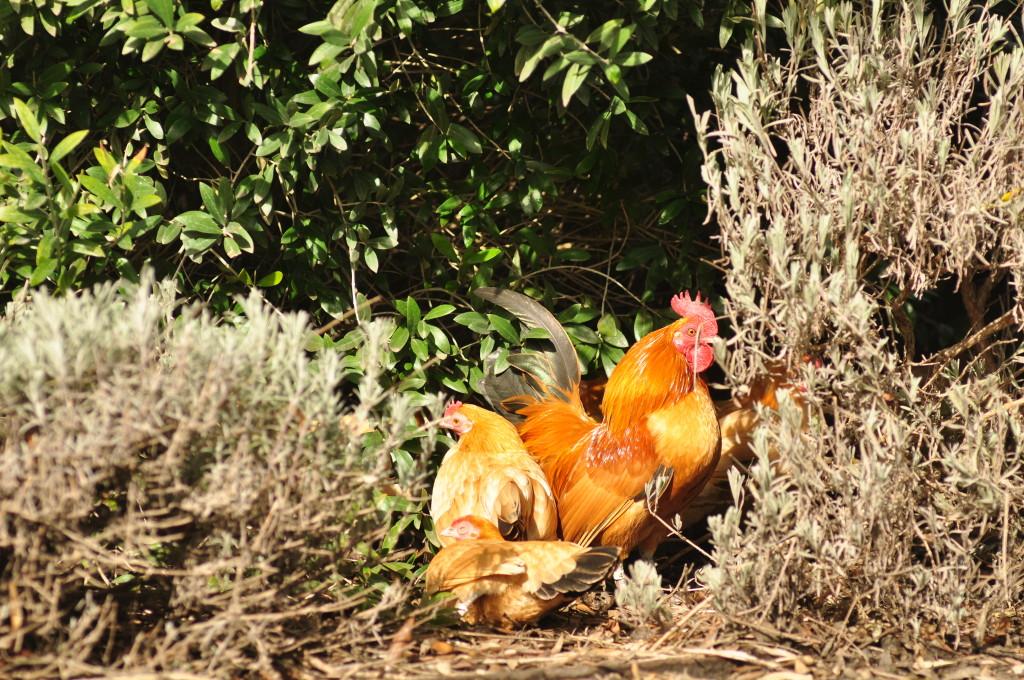 Hen sleeping in the sun.