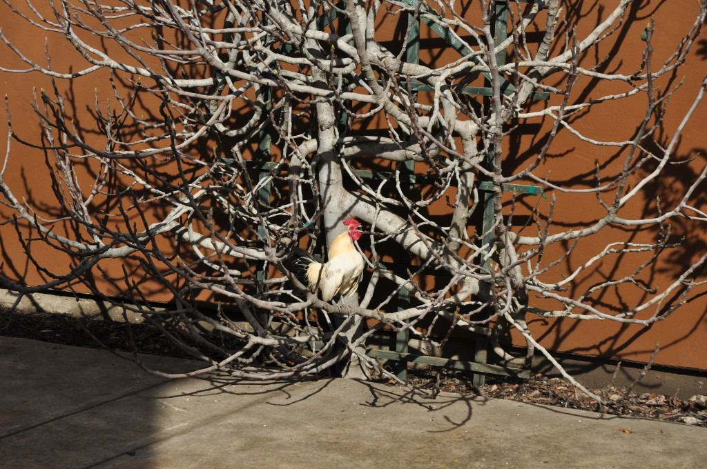 Frosty the white bantam Nankin rooster in the fig tree.
