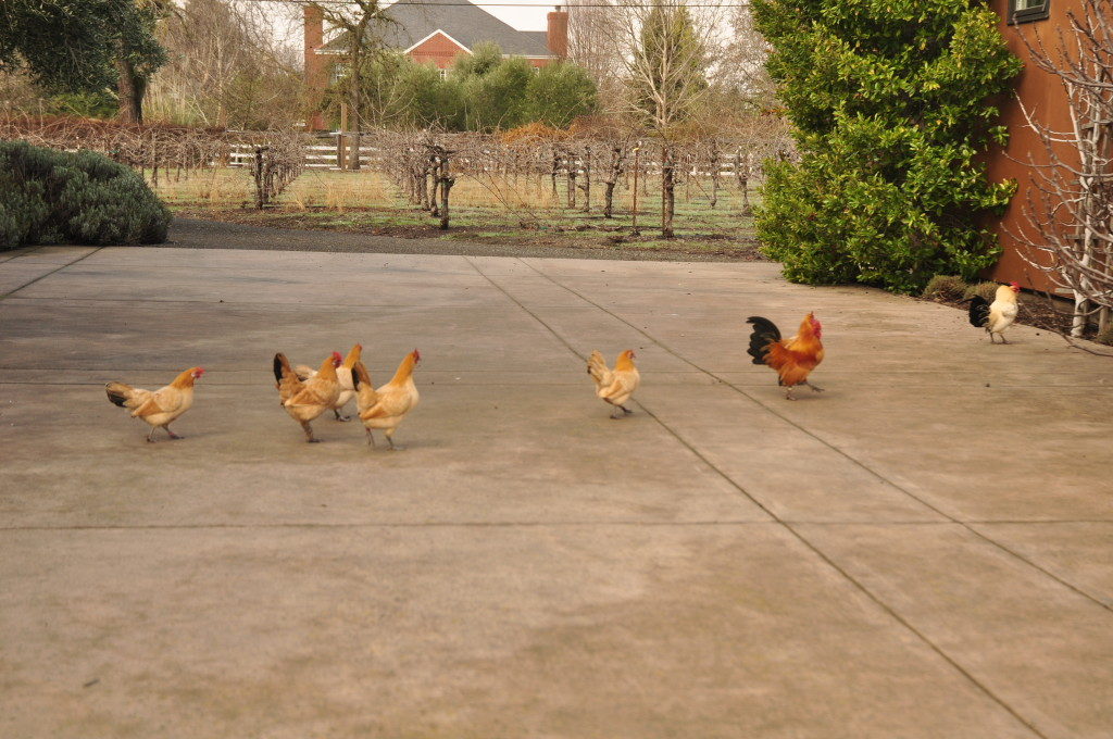 Bantam Nankin hens and roosters.