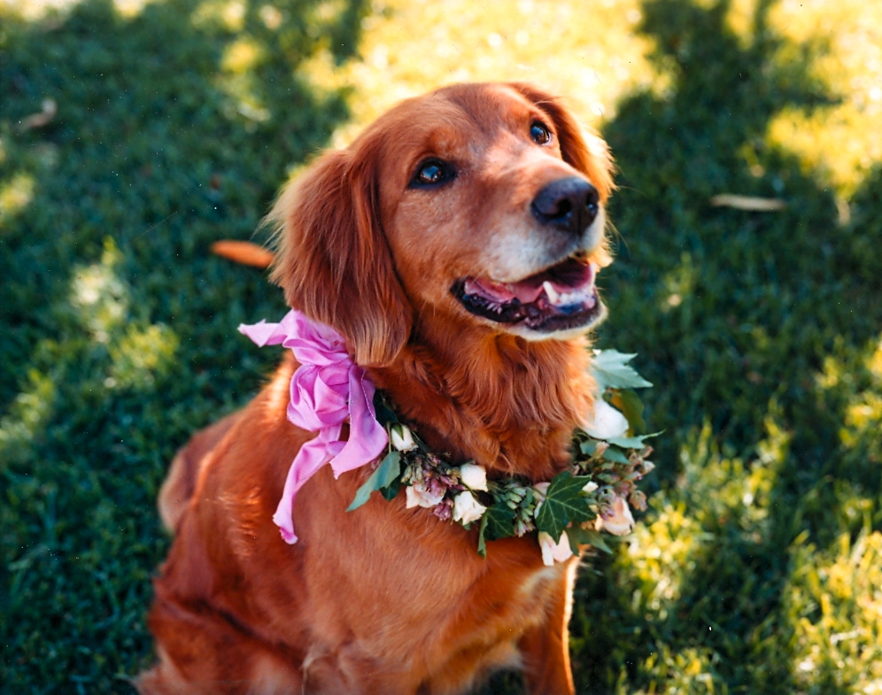 Our beautiful Golden Retriever dog Tess, on our wedding day in Sonoma.