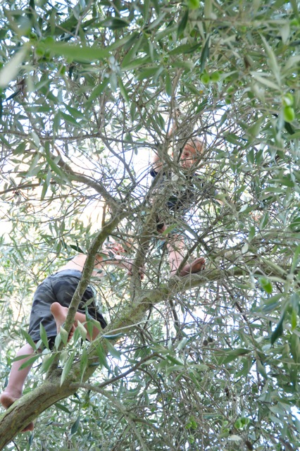 Kids climbing our olive trees.