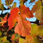 The vines have lost many of their leaves, and those that remain, are turning red, gold and brown.