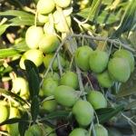 An abundant olive crop at Trueheart Vineyards in Sonoma, California