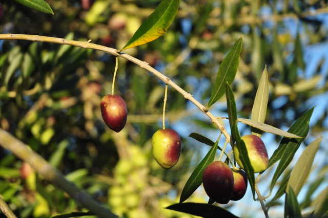 The olives at Trueheart Vineyard are nearly ripe and will be harvested soon.