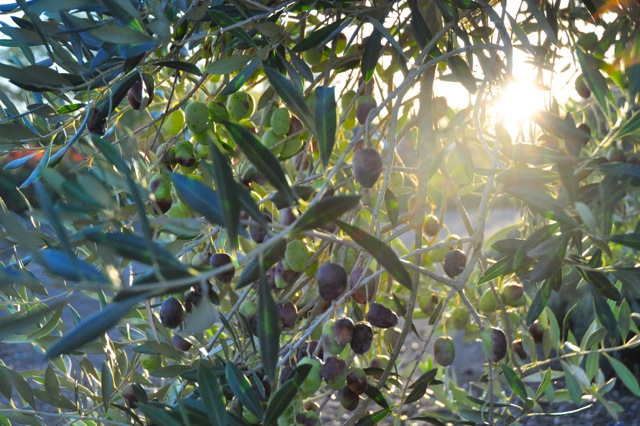 Olives in the sun.