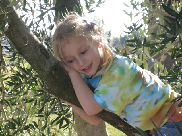 Kids love climbing our olive trees at Trueheart Vineyards in Sonoma, CA.