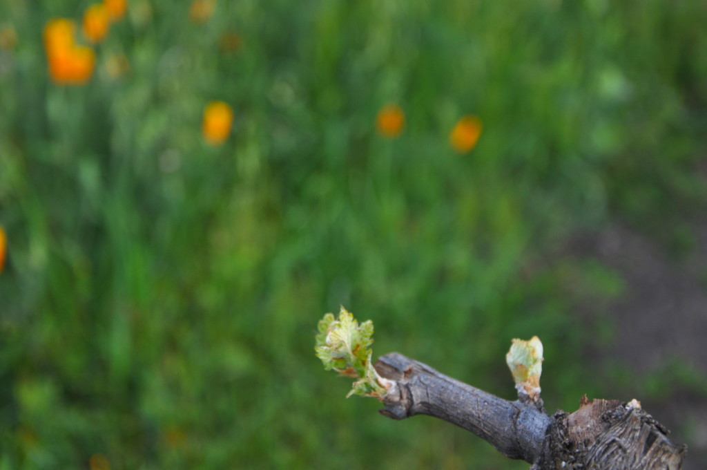 Trueheart Petite Sirah vines budding out with California poppies in the background.