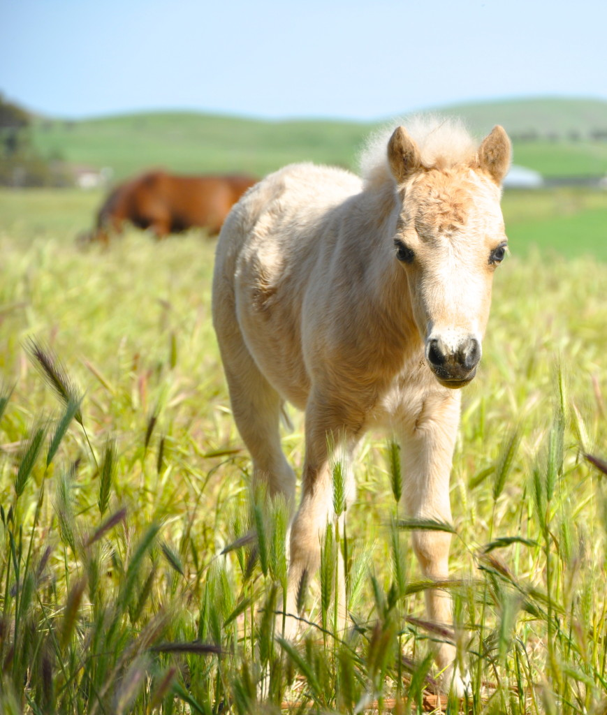 Miniature pony foal.