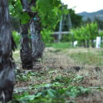Petite Sirah vines at Trueheart Vineyard have been trimmed