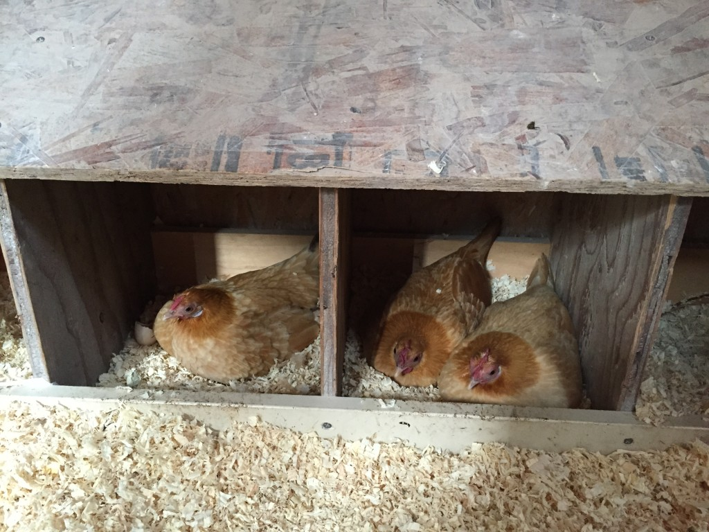 Three hens in two nesting boxes, sitting on eggs.