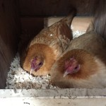 Two chicken hens sitting on a nest of eggs