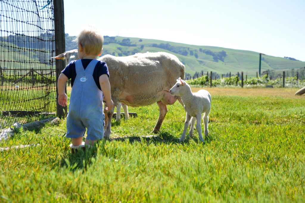 Baby looking at a sheep and her lamb.