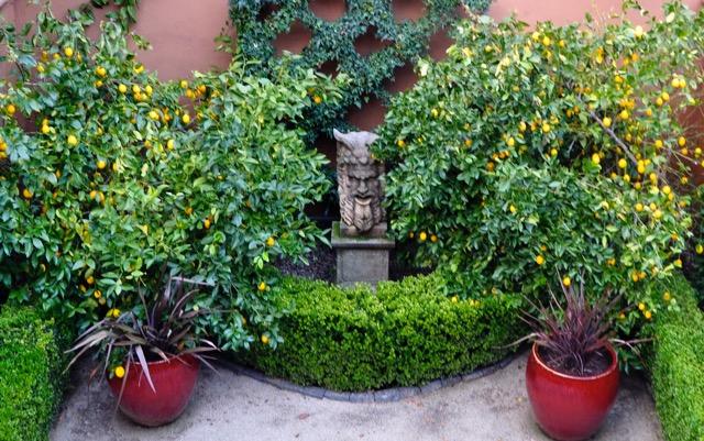 Our Myer lemon trees are laden with fruit. Lemons. Trueheartgal.