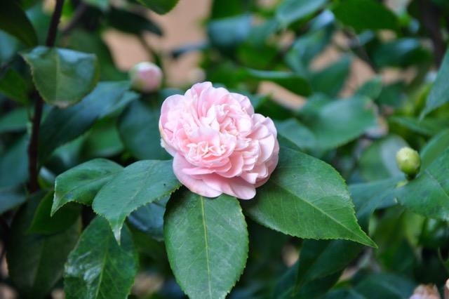 Camellia flower at Trueheart Vineyard. Lemon. Damp Lemon and Almond Cake. Trueheartgal.
