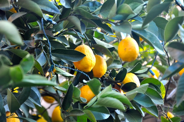 Our Myer lemon trees are laden with fruit. Lemons. Trueheartgal.
