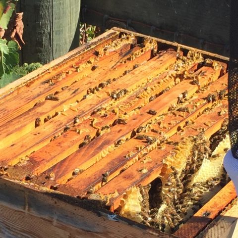 Our open bee hive showing the frames, busy bees and gobs of glorious honey.