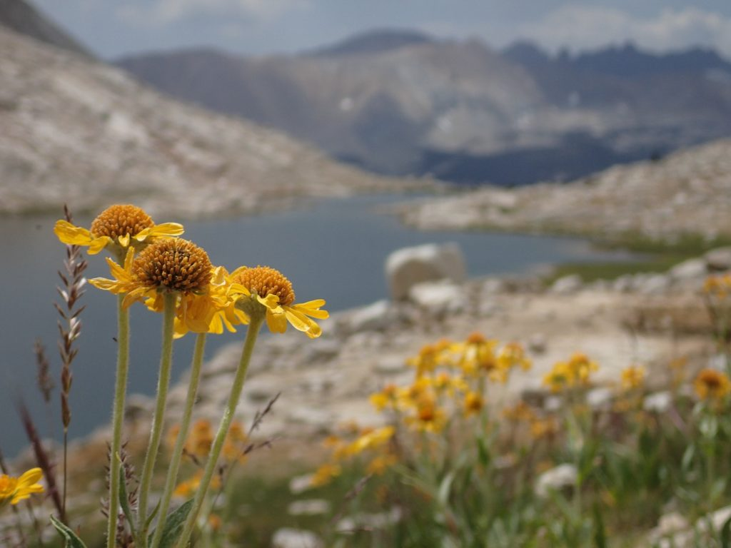 Mountain daisies at Guitar Lake. Mt. Whitney. Mount Whitney. Trueheartgal.